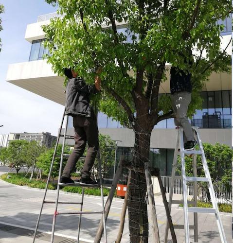 7、仓前维修部员工花了3天时间,在中心广场的64棵树上安装近400条星星灯.